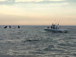 Bubble Feeding Whales