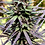 Thumbnail: 26,300 PurpleJade#12 Natural Hemp Seeds