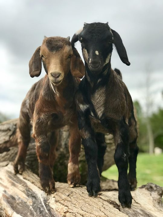 Farm | Wise Old Owl Farm | Boer Goats | United States