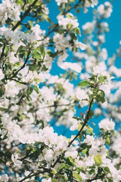 Õitsev õunapuu