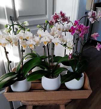 orchidées Phalaenopsis.jpg