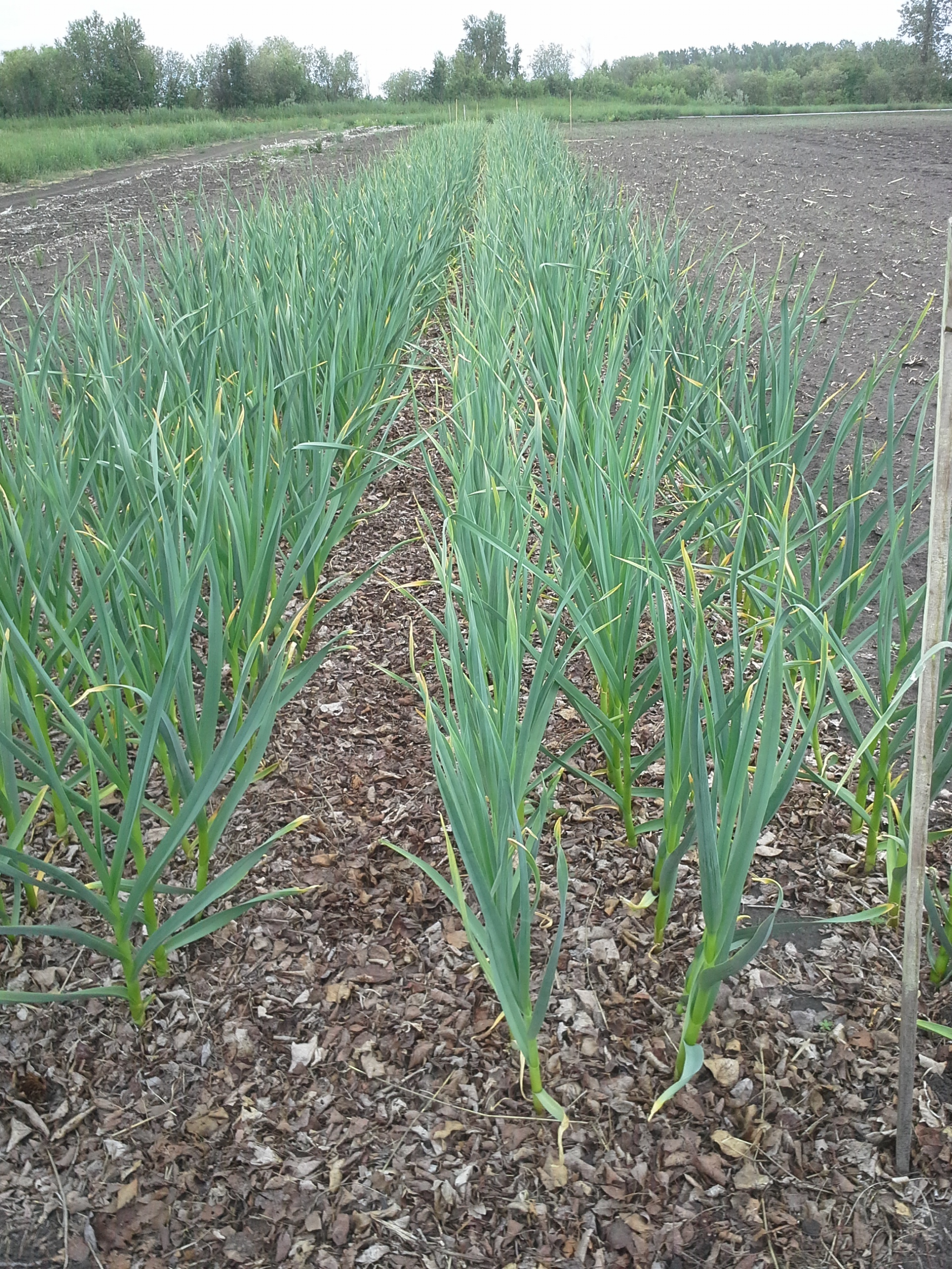Lovely garlic, best ever, June 18