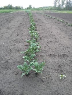 New potatoes June 18