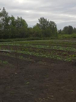 Garden after the weeding June 13
