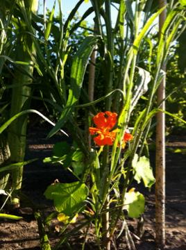 Nasturtium in the Kids' Garden