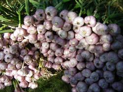 An Abundance of Garlic