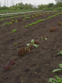 New Lettuce June 18