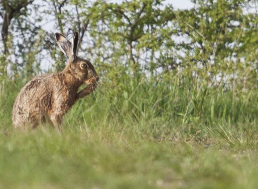 PHOTOGRAPHING HARES