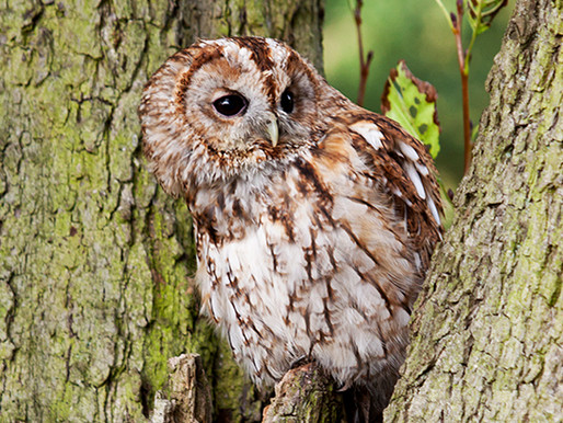 HOW TO CALL A TAWNY OWL