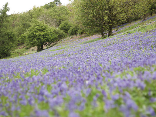 Why UK bluebell woods are the best in Europe