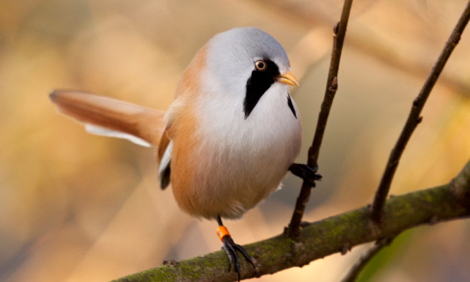 Where to see a bearded tit