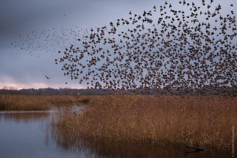 starlings snettisham