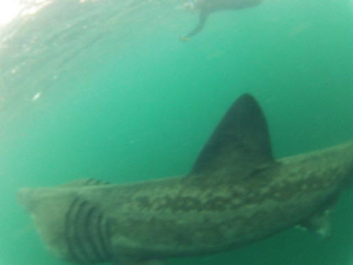 SWIMMING WITH BASKING SHARKS