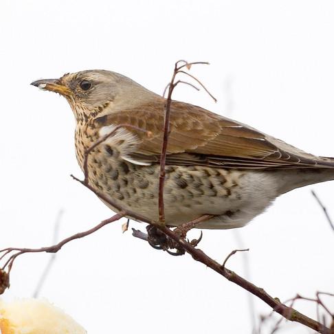 Winter thrushes