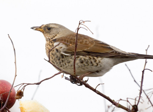 Winter thrushes