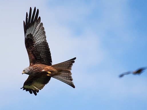 Photographing Red Kites