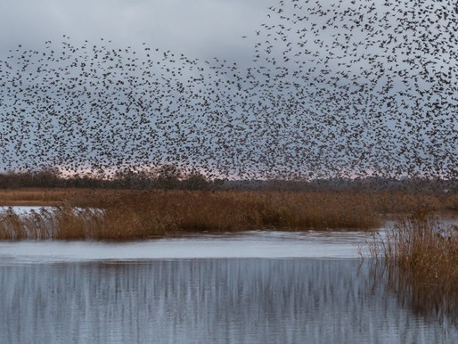 Where to see a murmuration