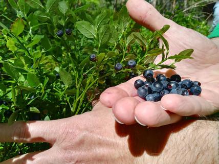 Wild blue berries in the forest, njam nmam