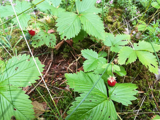 Wild and delicious strawberries