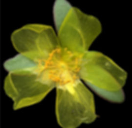 Portulaca_Yellow_img398.jpg