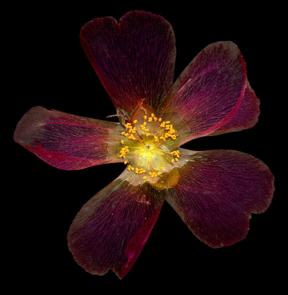 Portulaca_Red_img461_8_inch.jpg