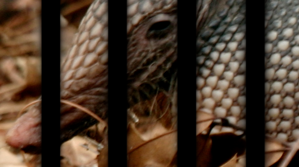 The Truth about trapping armadillos under house