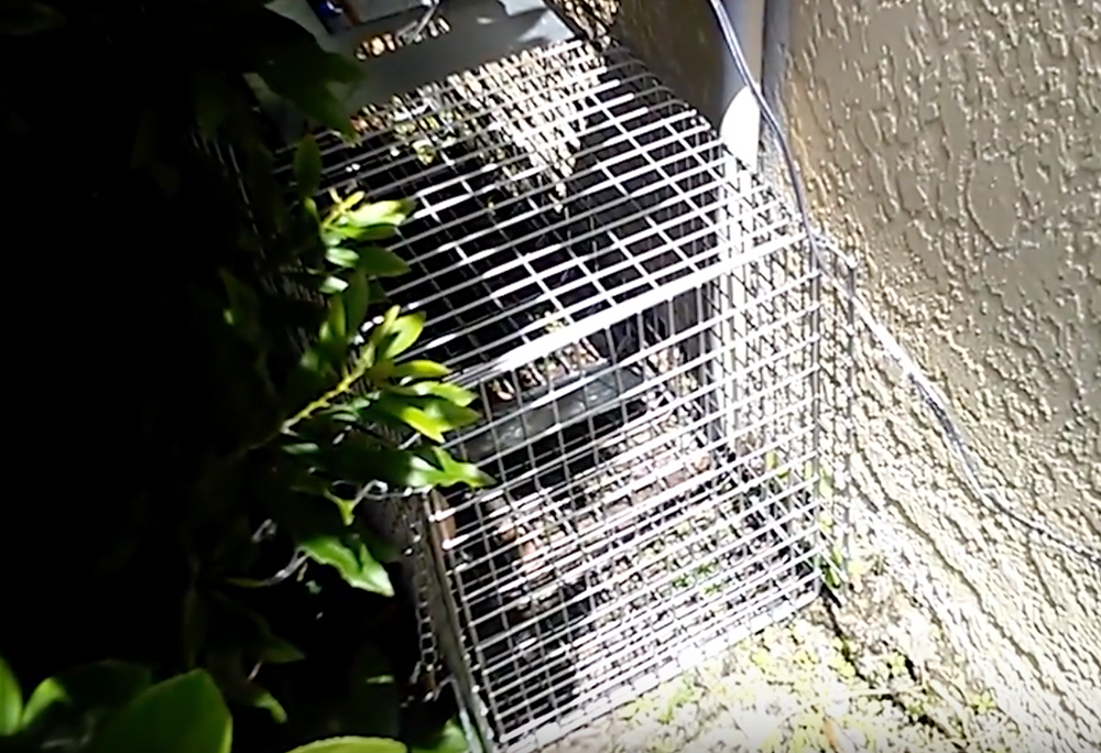 armadillo trapping in florida and texas