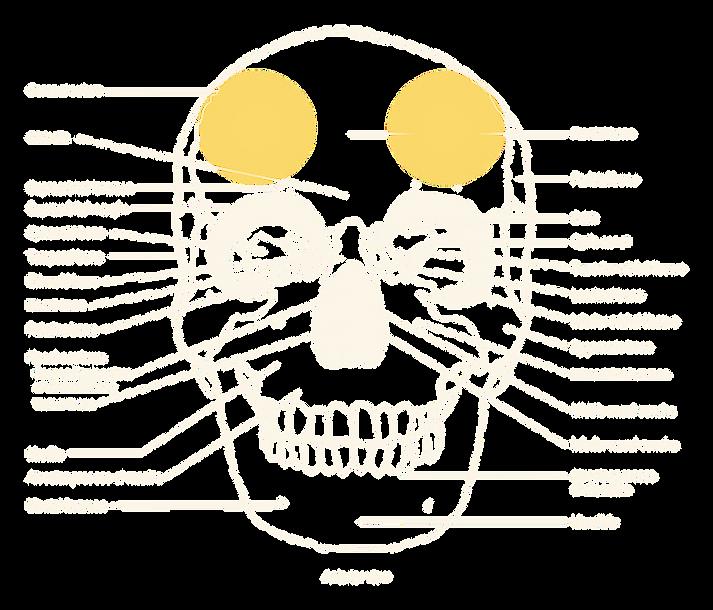 human skull, phrenology seat of wit