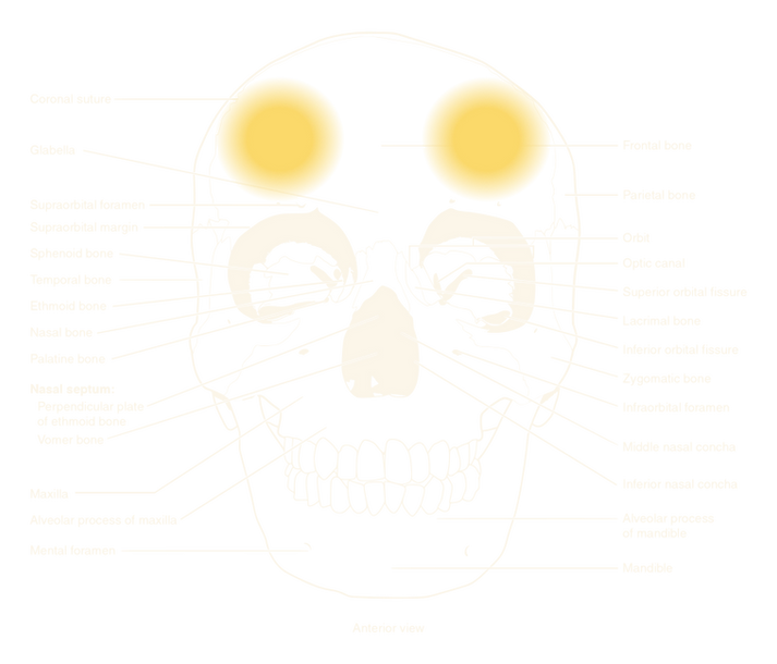 human skull, phrenology seat of wit