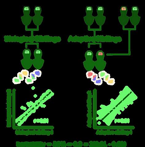 Adoption Studies: depiction of heritability
