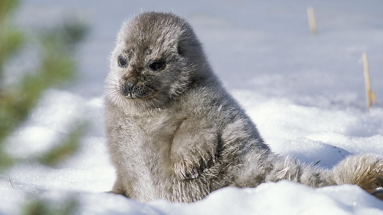 Ringed_Seal_1.jpg