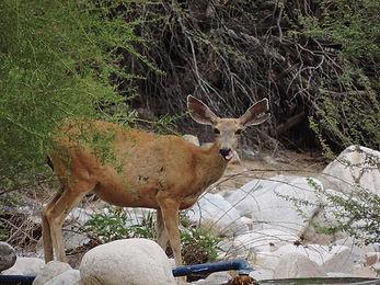 Female deer at wash 8 25 13 005.jpg
