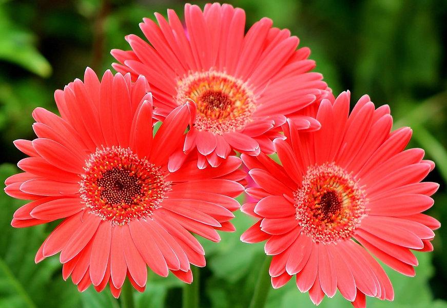 gerbera-flowers-three-close-up-three-wal