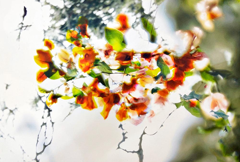 Poinciana Blossom
