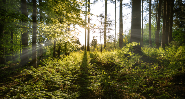sunbeams-in-spring-forest-1334174-639x34