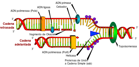 DNA replication WIKIPEDIA LadyofHats