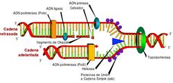 DNA replication WIKIPEDIA LadyofHats