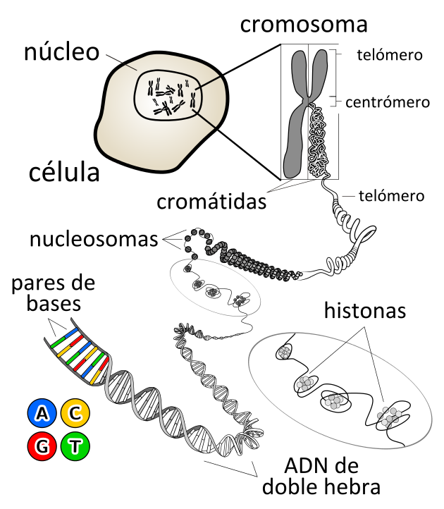 Chromosome-es WIKIPEDIA KES47