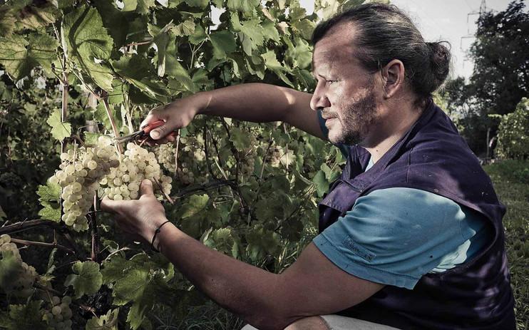 Čotar grape harvesting