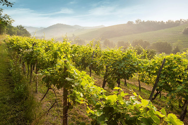 Vineyard in morning mist