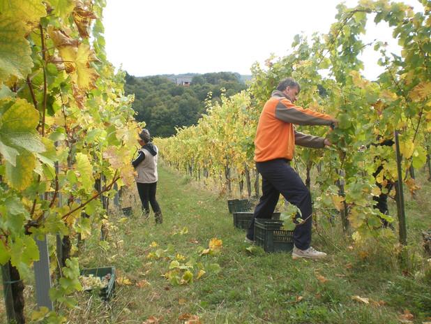 Šuman vineyard closeup