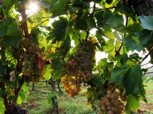 Trapan grapes