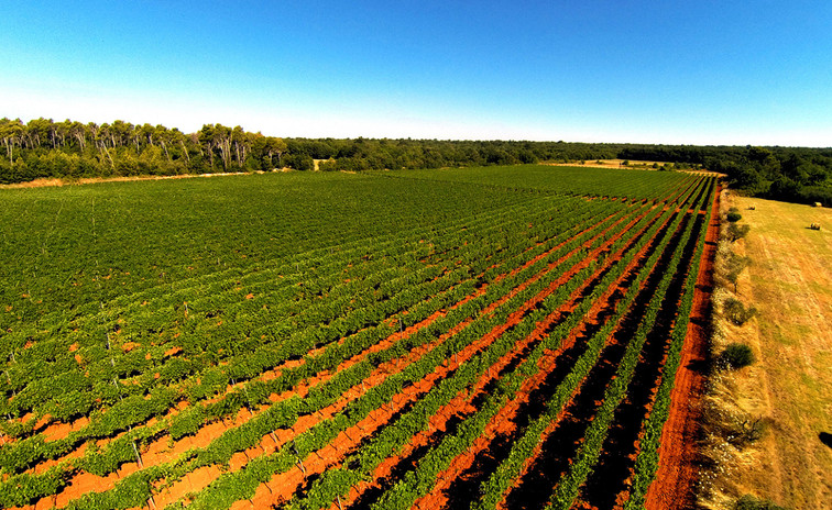 Trapan vineyard