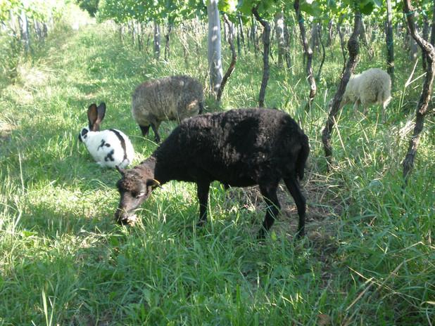 animals at Šuman vineyard