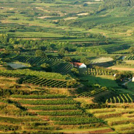 Aci Urbajs vineyards