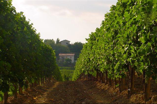Movia vineyard