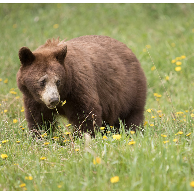 Young Grizzly-105-Penryn CC.jpg