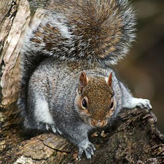Young Grey Squirrel-127-Penryn CC.jpg