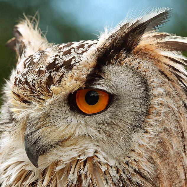 Eye Of Owl-106-Penryn CC.jpg
