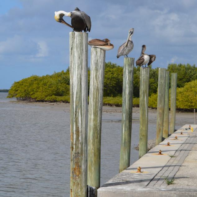 Pelican Perch-157-Penryn CC.jpg